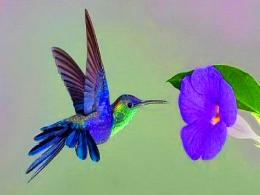 Blue Hummingbird 1041