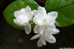 Jasmine Flowers nature in Monsoon 652