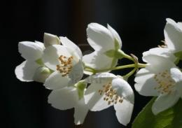 Jasmine Flower HD Wallpapers Free Download 1735