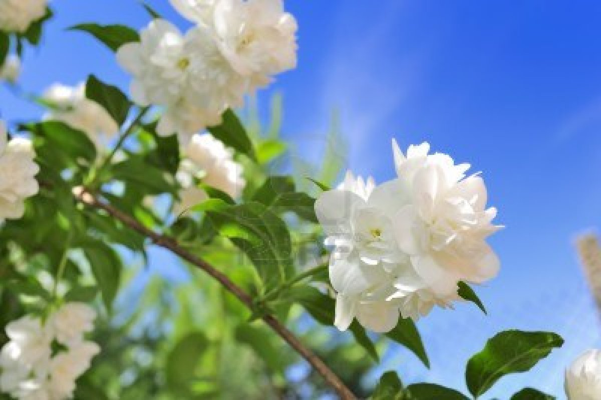 26 Jasmine Flower Wallpaper Hd Download 1851 Jasmine Flower Hd Wallpapers