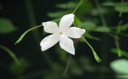 Jasmine Flower HD Wallpapers 1742