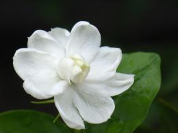 Amazing Jasmine Flower HD Wallpaper Jasmine Flower Pictures 185
