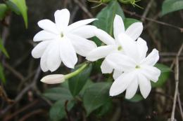 Jasmine wallpapers hd 1747