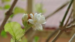Jasmine Flower HD Wallpapers 206