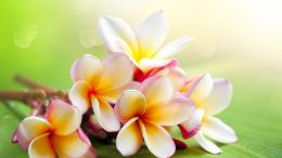 File Name : wallpapers for you pictures flowers jasmine wallpaper x 428