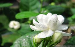 Tagged with: Flowers HD Wallpapers jasmine jasmine hd wallpapers 869