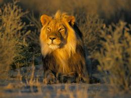 lions wallpapers lion photos animals hd lion photos wild lions picture