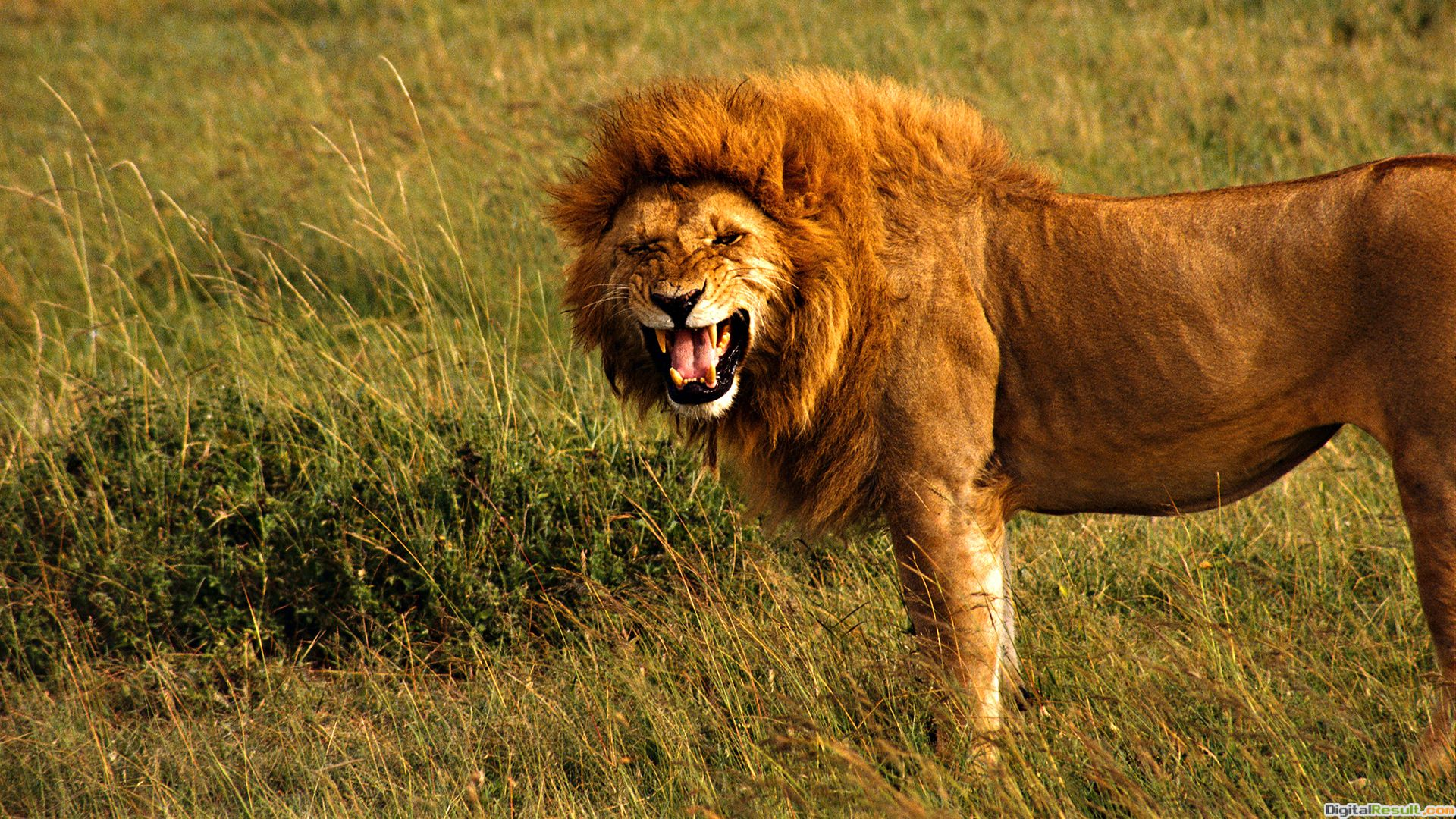 angry lion hd wallpapers cool top images angry lion hd wallpapers cool