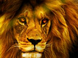 HD lion wallpaper Animal desktop background