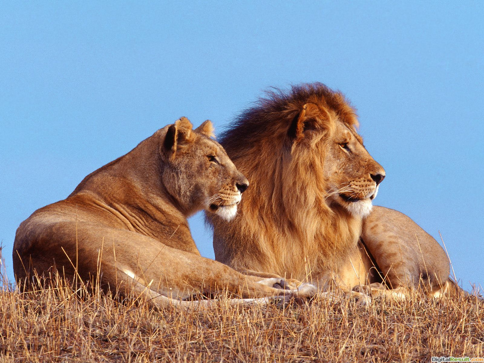 of lions wallpapers hd hd wallpapers animal pictures amazing lion