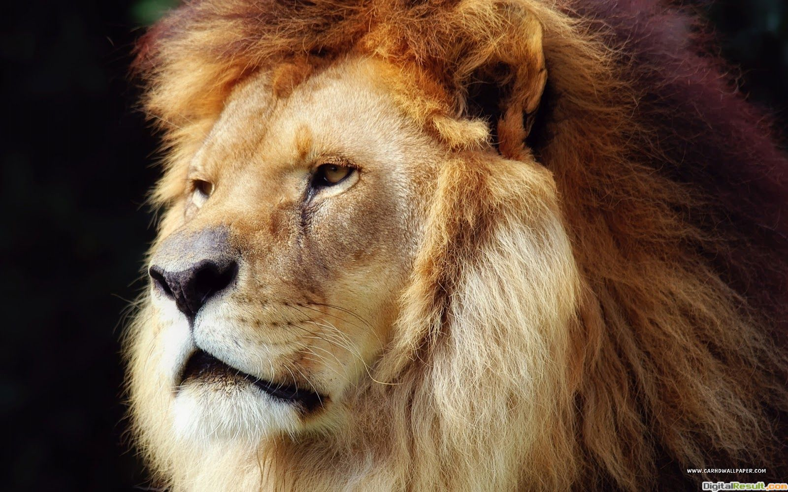 New Lion HD Wallpapers