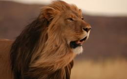 Male lion hd Wallpapers Pictures Photos Images
