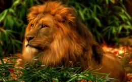 Cool Lion Desktop WallpaperHD Wallpapers
