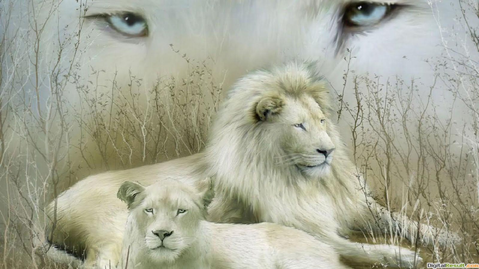 white lion wallpapers cute white lion stills funny white lion images