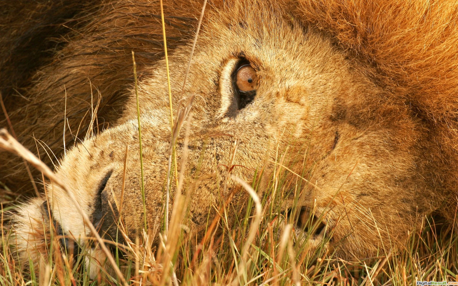 The Eye of Lion