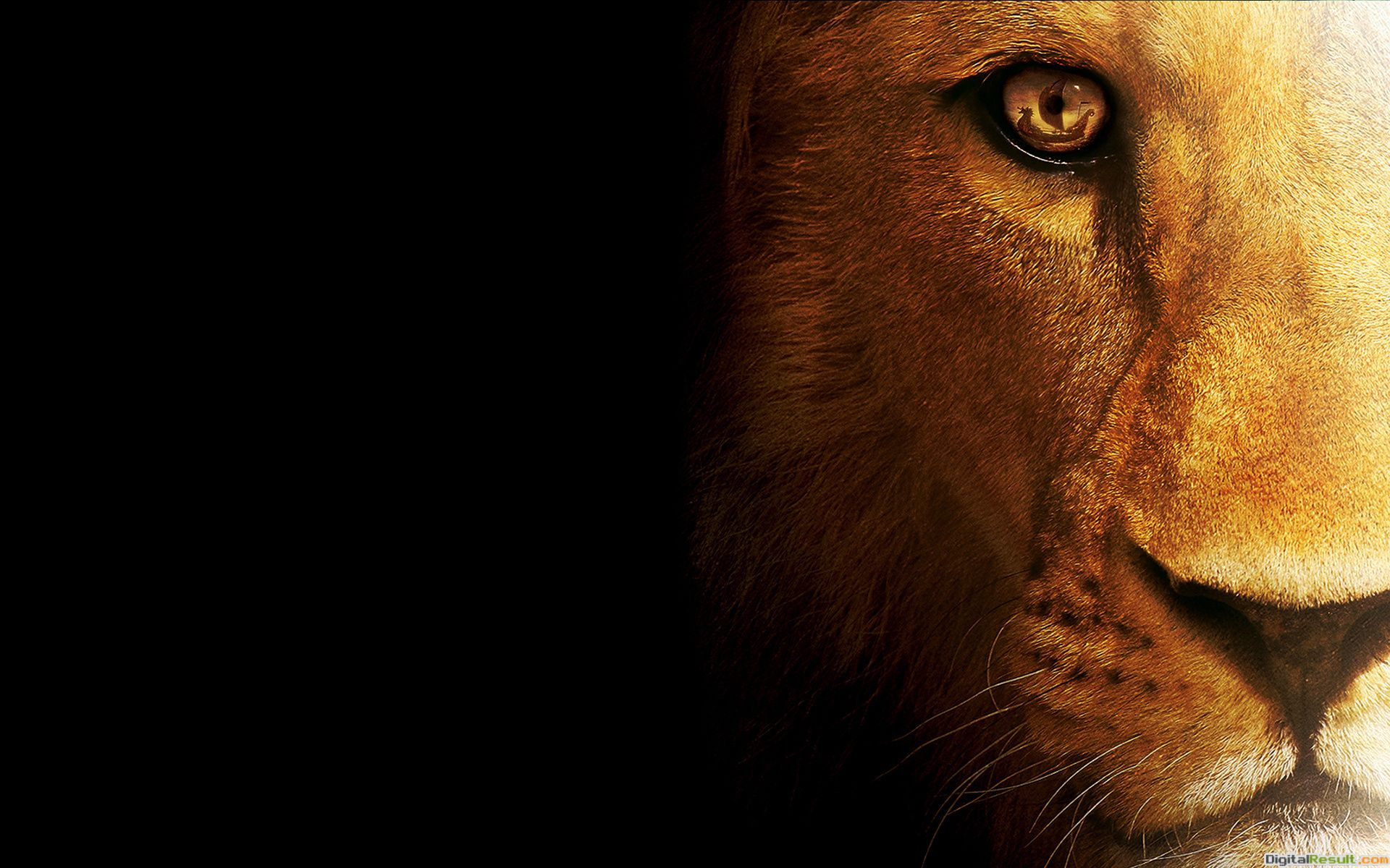 Lion Wallpaper in full high resolution