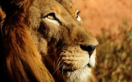 2560x1600 Lion Close up desktop PC and Mac wallpaper
