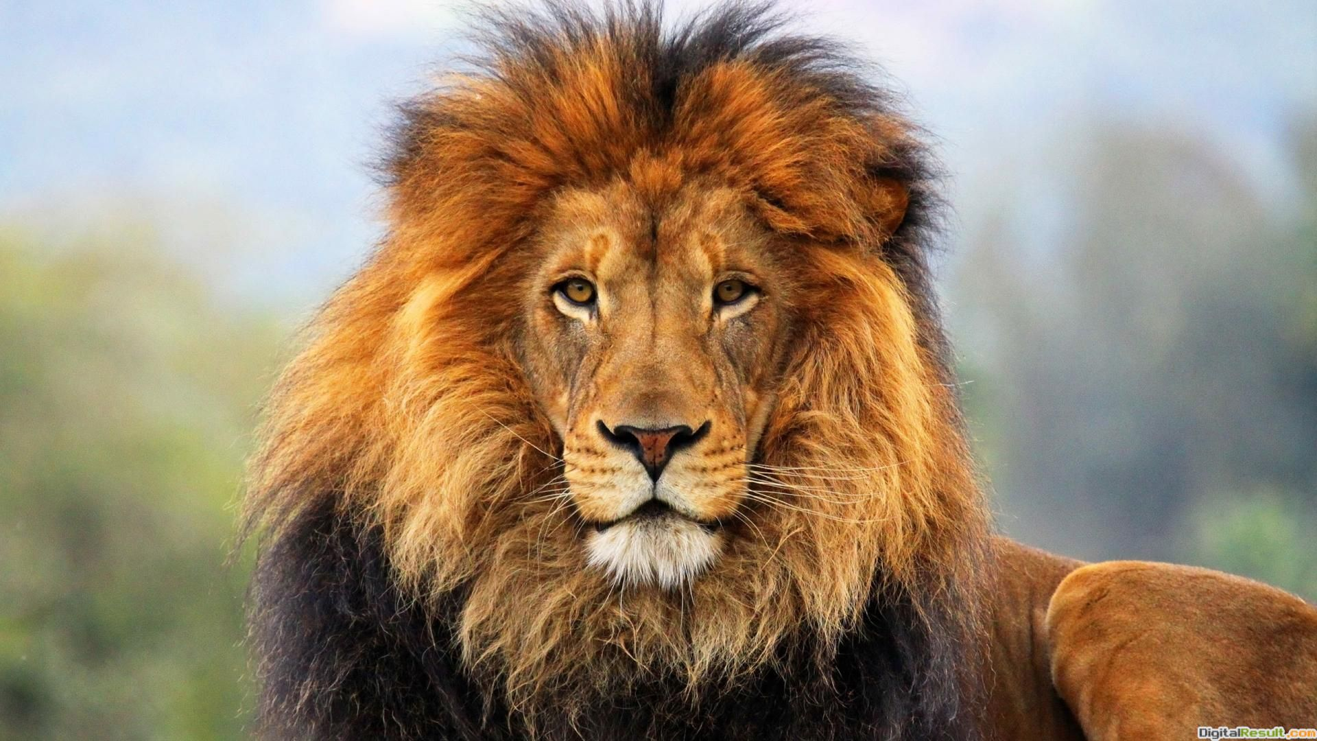 lion wallpaper hd 1080p categories animals wallpapers