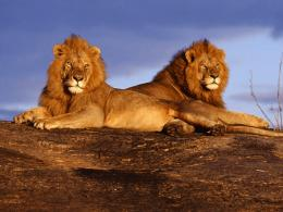 lion hd wallpapers 2012+05 jpg
