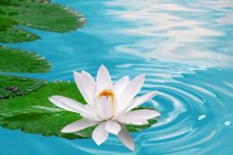 White Lotus Flower HD Wallpapers 1592
