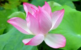 Beautiful Lotus Flower Wallpaper flowers lotus HD desktop wallpaper 1081