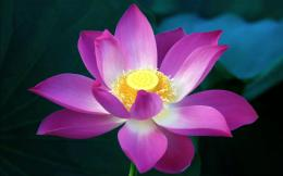lotus flower high definition wallpapers beautiful desktop background 1613