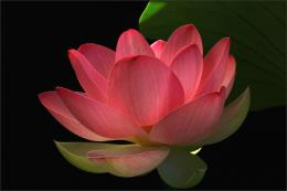 red lotus flower postPlease come again for Flower Mounds updates 1044