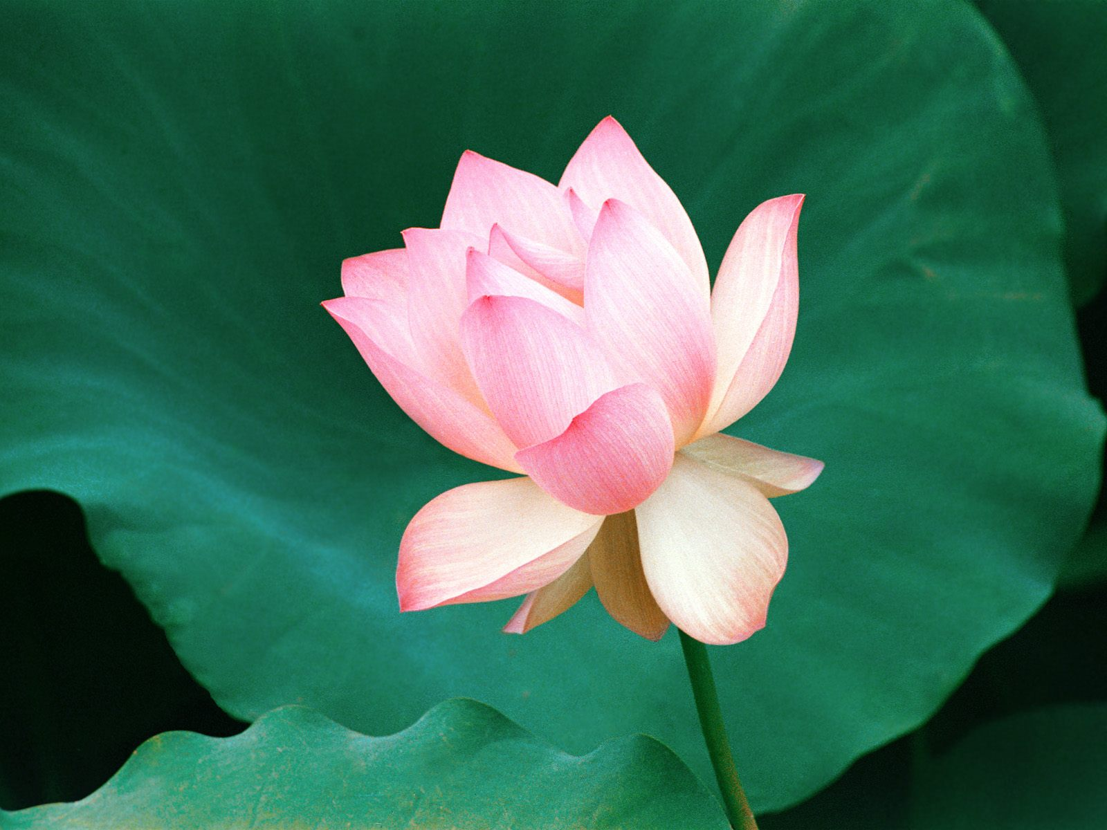 lotus flower hd wallpapers best desktop background pictures widescreen 952