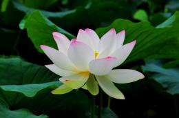 Lotus Flower Drawing HD Background Wallpaper 1472