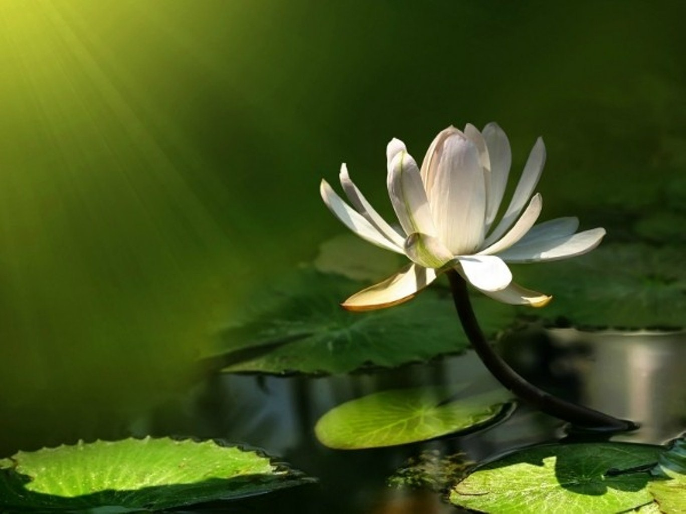 Lotus wallpapers hd 1885