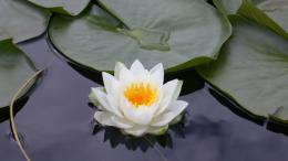 Lotus Flower Desktop Wallpapers 1624