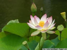 Lotus Flower Desktop Wallpapers, PC Wallpapers, Free Wallpaper 448