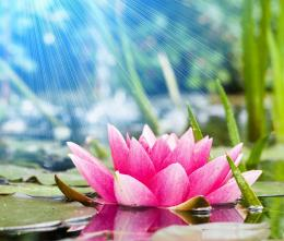Lotus Flower Desktop Wallpapers 255