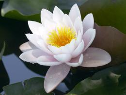 Lotus Flower Desktop Wallpapers 1076