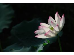 Lotus Flower Desktop Wallpapers 382