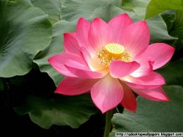 Lotus Flower Desktop Wallpapers, PC Wallpapers, Free Wallpaper 710
