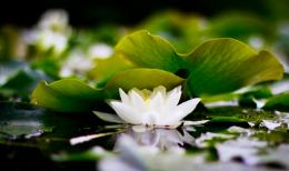 Lotus wallpapers hd 429