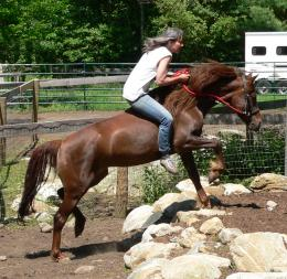 brown morgan horse picture beautiful brown morgan horse picture 1270