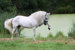 morgan horse white high resolution wallpaper download morgan horse 1739