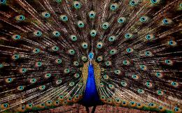 Peacock HD Wallpapers jpg
