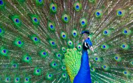 indian bird peacock hd wallpapers