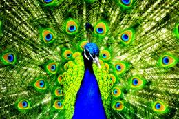 United Colors of Peacock HD Wallpapers