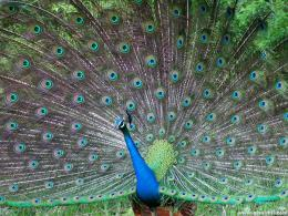 Beautiful Peacock dancing wallpapers