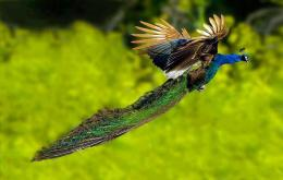 Peacock Flying Best Hd Wallpaper