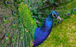Peacock HD Wallpaper Pictures 571