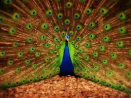 Peacock Wallpapers, Backgrounds, Photos,Images and Pictures
