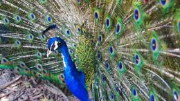 Homepage Animals And Birds Peacock hd wallpaper