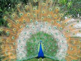 Beautiful Peacock Wallpapers Free Download