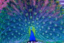 Peacock Pictures & Wallpapers
