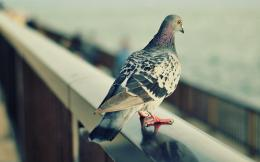 File Name : Pigeon HD Wallpaper